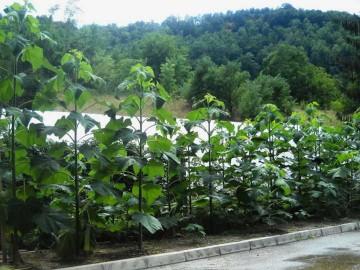 Vitalne sadnice paulovnije
